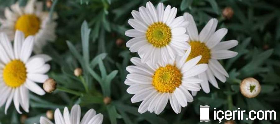 Böbrek Taşı Düşmanı Margarit Çiçeğinin Faydaları